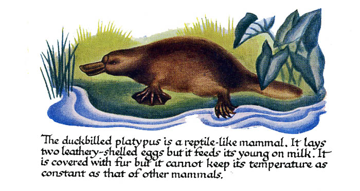 platypus: rather like rps